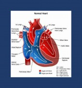 normal heart framed image healthtips images